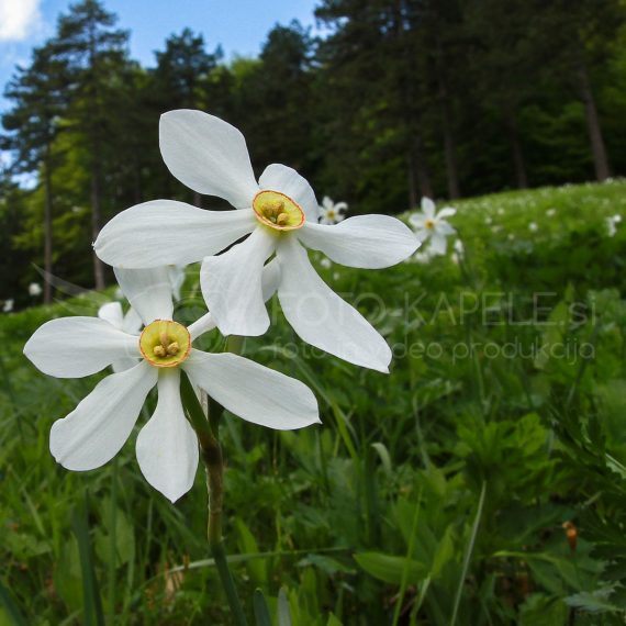 Narcise, Krempa, Kočevsko